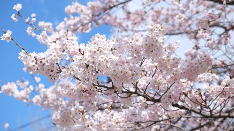 仙台管区気象台のソメイヨシノ標本木(2019年4月9日 撮影:小杉 浩史気象予報士)